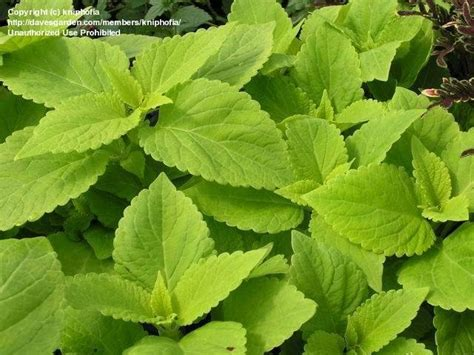 plantfiles pictures coleus painted nettle life lime solenostemon scutellarioides 1 by