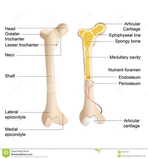 labeled bone diagram human anatomy bone anatomy of the human bone