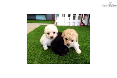 maltipoo puppies for sale in california malti poo maltipoo puppy for sale near san diego california 52bbd44c ec91