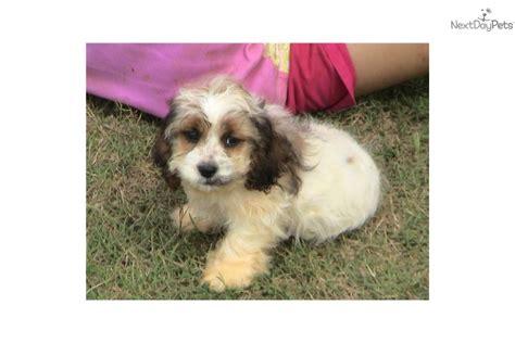 cockapoo puppies nc cockapoo puppy for sale near carolina d8e7b094 7a21
