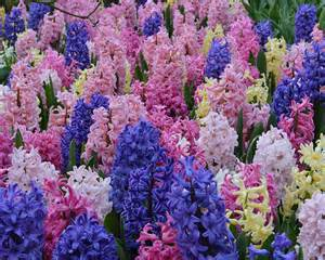 hyacinth color hyacinth bulbs empire state hyacinth mix