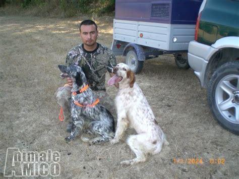 Topi Breton vendita cucciolo breton da allevatore a rieti cani breton
