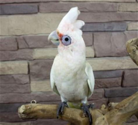 cockatiel birds for sale chicago il 213751 petzlover