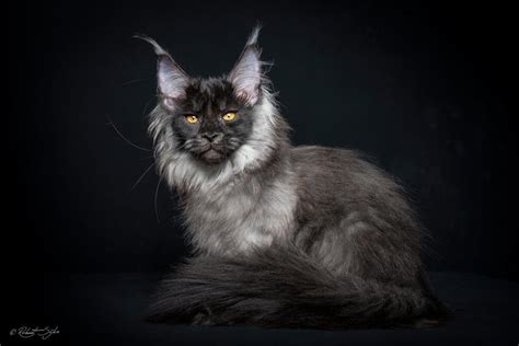 A Mesmeric Photograph Of An Enchanted Creature, Maine Coon