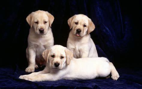 labrador retriever puppy animal photo labrador retriever info