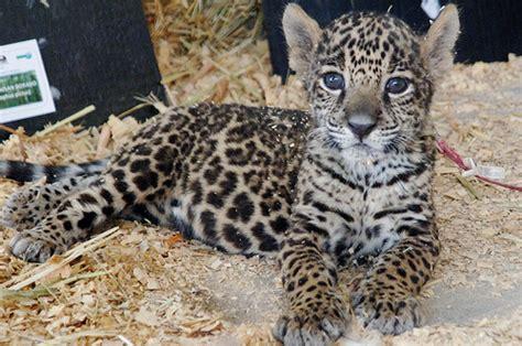 imagenes de jaguar bebe diferencias entre el leopardo guepardo y jaguar taringa