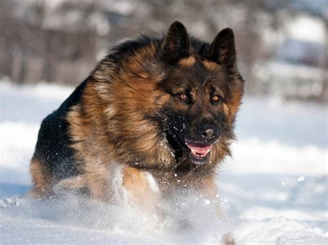 haired german shepherd puppy 5 simple steps to grooming your german shepherd s thick coat shepped