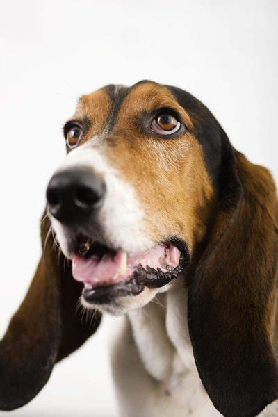 dogs with short floppy ears a list of droopy eared dogs pets