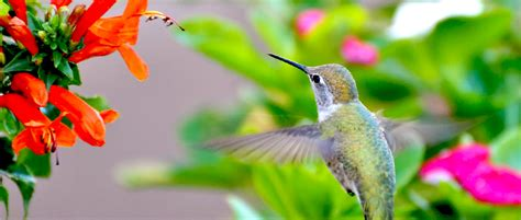 colorful hummingbirds a colorful shift that attracts hummingbirds to bees