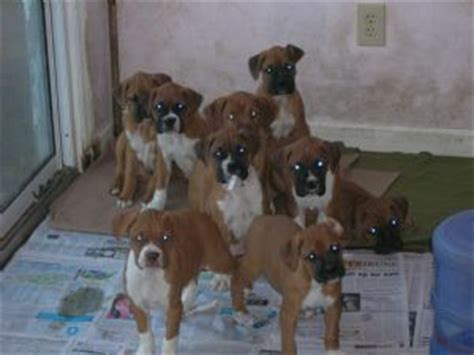 boxer puppies nc boxer puppies in carolina