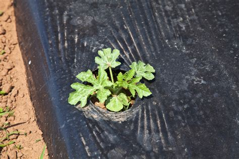 Pre Warm Cold Soil Before Planting Vegetables Harvest To Using Black Plastic In Vegetable Garden