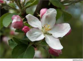 What Is The Alaska State Flower - michigan state flower apple blossom