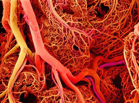 Blood Real In by Blood Vessels