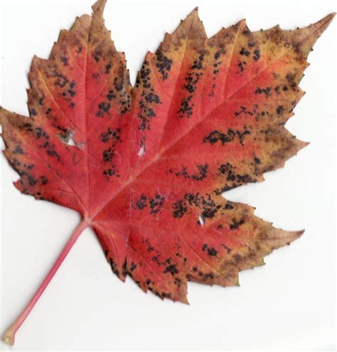 file canadian maple leaf jpg file autumn rocky mountain maple leaf jpg
