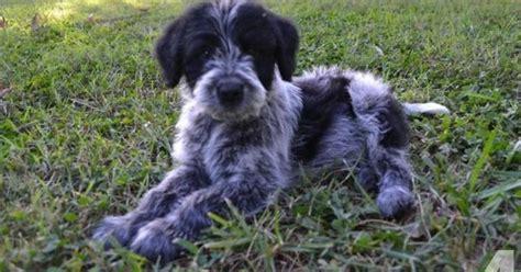 blue heeler puppies for sale in va blue cadoodle blue heeler and poodle for sale in lynchburg virginia classified
