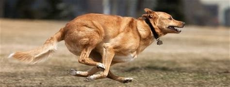 how fast do dogs run hart humane animal rescue team mutterings running