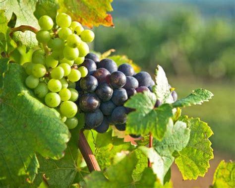imagenes de los uvas kangris de temporada recetas para disfrutar de las uvas