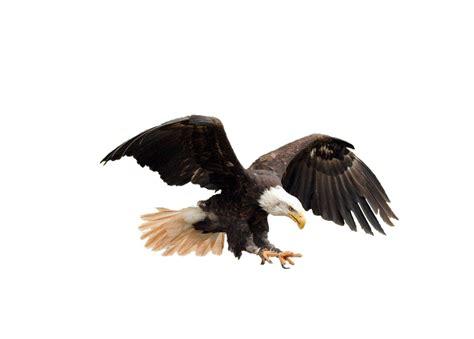 imagenes png aguila free illustration isolated bald eagle adler raptor