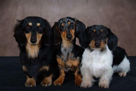 dachshund puppies missouri miniature dachshund puppies missouri