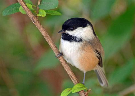 birders records for great backyard bird count