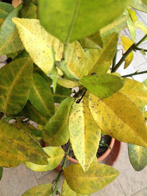 limone in vaso perde foglie limone con foglie gialle