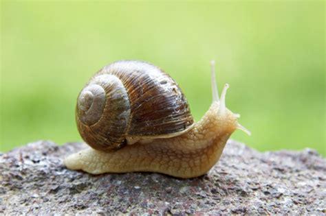 different types of snails in the garden lumache come preparare ricetta escargots