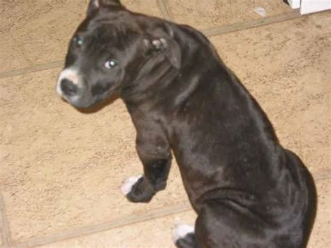 black pitbull puppy animal facts pitbull puppies facts for pitbull puppies