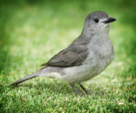 Small Grey Grey Bird David Sobik Photography