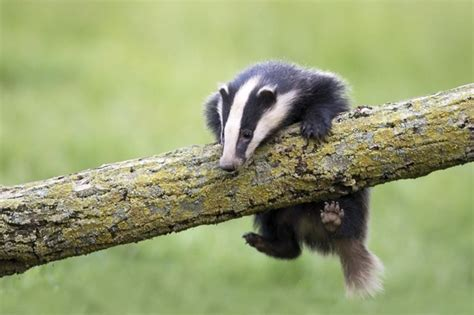cute badgers olive s animals