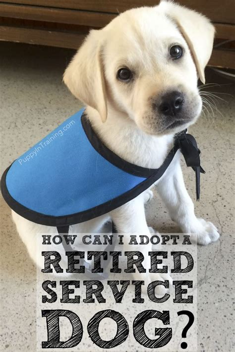 adopt a retired how can i adopt a retired service or failed guide puppy in