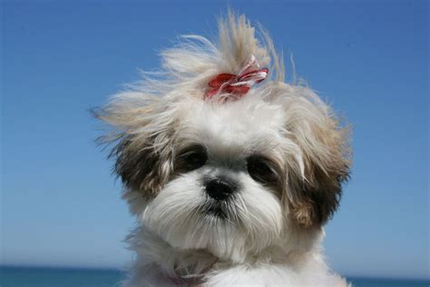 shih tzu mix with maltese shih tzu maltese mix www imgkid the image kid has it