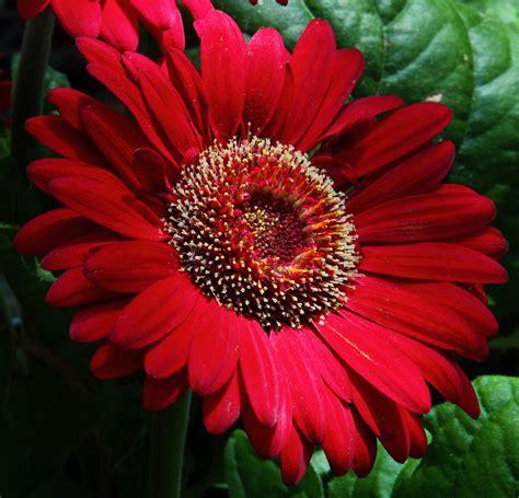 file large red daisy virginia forestwander jpg wikimedia commons