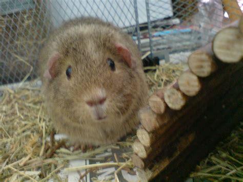 guinea pug guinea pigs guinea pigs wallpaper 15107710 fanpop