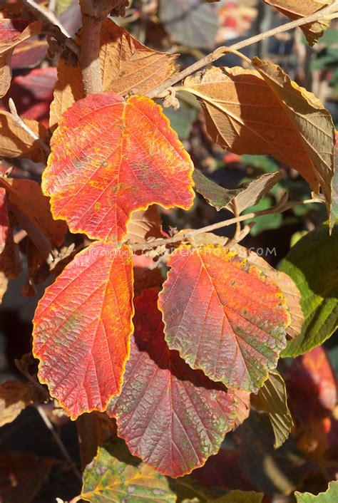 colorful foliage plants witch hazel diane autumn leaves plant flower stock