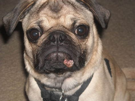 pug virus your didn t a toad newtown square veterinary hospital