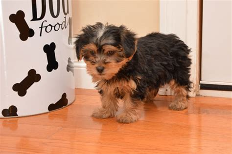 yorkie poo adults pictures how to yorkie poo puppies hairstyle gallery