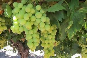 Table Grapes by Abc Rural Australian Broadcasting Corporation