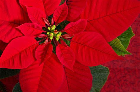 Weihnachtsstern Pflegen Wohnung by Weihnachtsstern Oder Poinsettia Euphorbia Pulcherrima