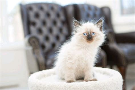 hypoallergenic guarantee traditional balinese kittens cats kittens  rehoming markham