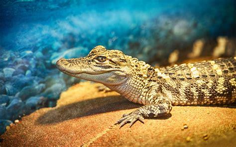wallpaper krokodil crocodile wallpaper wallpapersafari