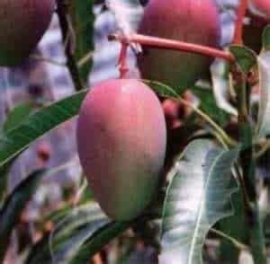 Bibit Mangga Garifta Merah jual bibit unggul tanaman mangga garifta merah bibit