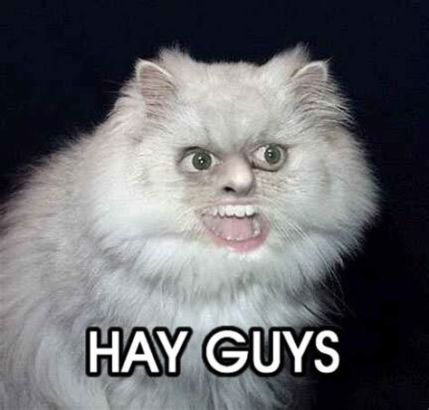 hay guys funny cat pictures