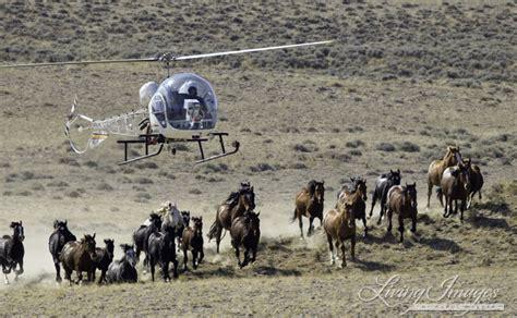 blm mustang roundup in arizona horses blm proposes testing dangerous