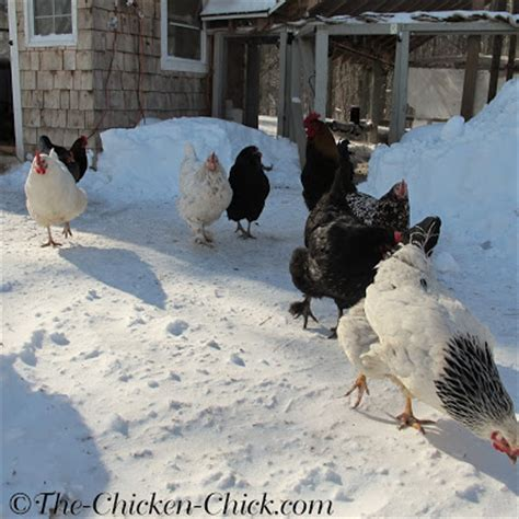 heat l for chickens heat l for chickens 100 images how long do baby need