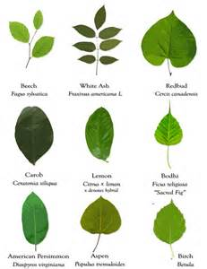 goseekit web different types of leaves and their names