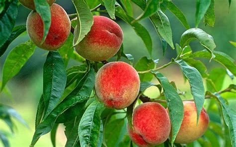 Grow exotic fruit on urban plots   Telegraph