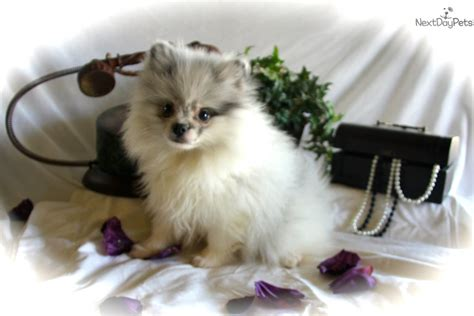 pomeranian puppies for sale in dallas pomeranian puppy for sale in fort worth breeds picture