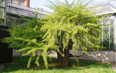 Suplemen Ginkgo Biloba herbal extract company s ginkgo biloba supplement pictures