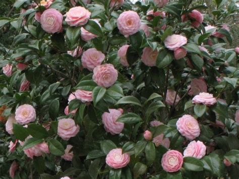 Camelia Pink camellia japonica pink perfection great as shade plant for side of house gets 8 10ft