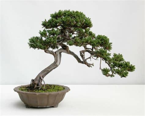 ausgefallene pflanzen garten bonsai baum diese ausgefallene pflanze n 228 kennenlernen